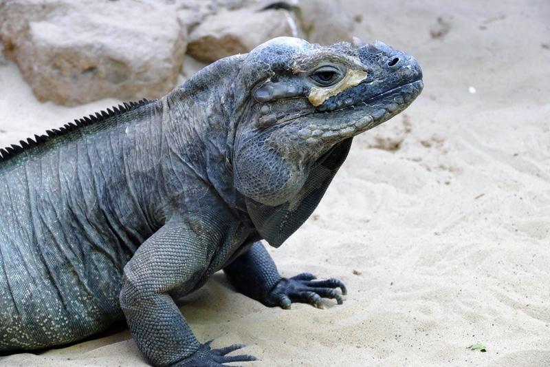 Rhino Iguana - Cự đà tê giác