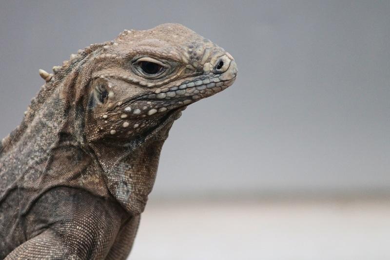 Cự Đà Đá - Rock Cuban Iguana