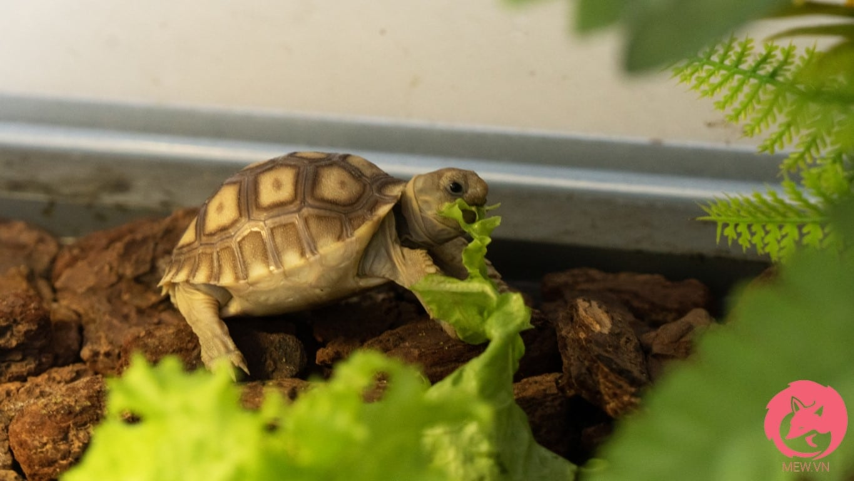 Rùa Sulcata con ăn rau