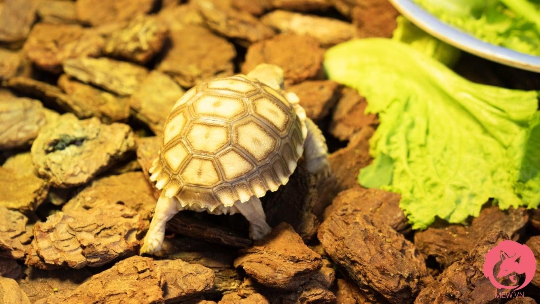 Rùa Sulcata rất dễ thương