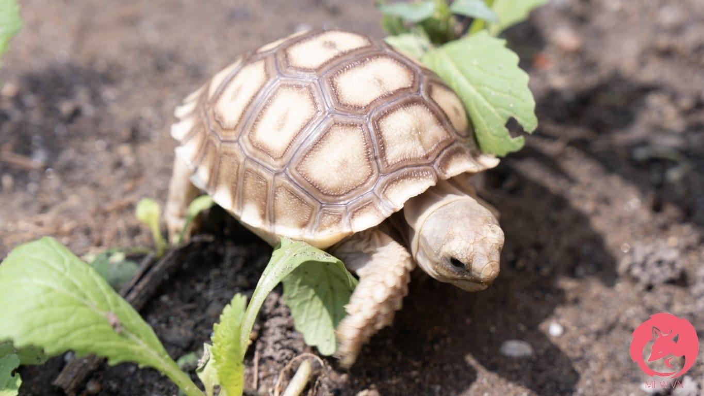 Rùa Sulcata ăn rau cỏ.