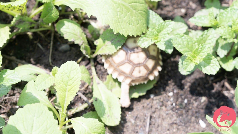 Chế độ ăn giàu chất xơ tốt cho rùa Sulcata