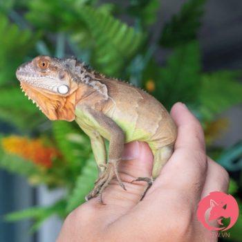 Rồng Nam Mỹ Đỏ - Red Iguana 1