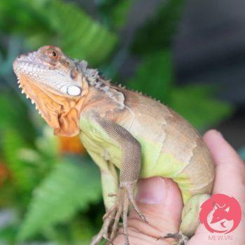 Rồng Nam Mỹ Đỏ - Red Iguana 2