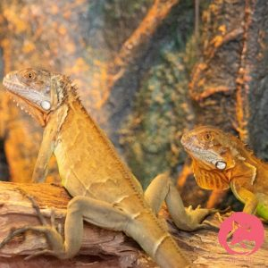 red iguana cái