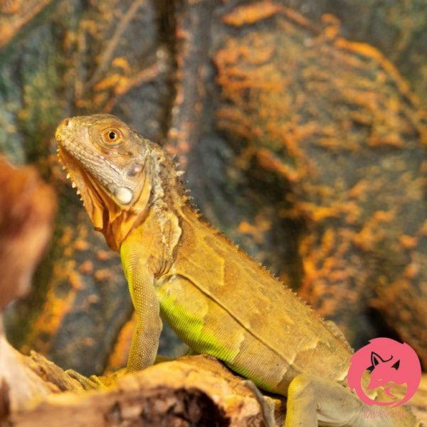 red iguana đực