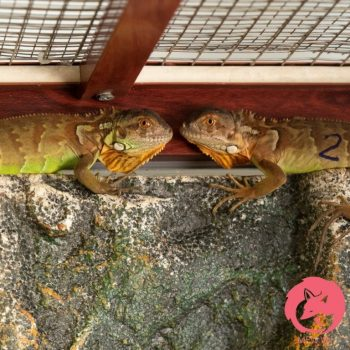 Rồng Nam Mỹ Đỏ - Red Iguana 6