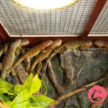 Rồng Nam Mỹ Đỏ - Red Iguana 7