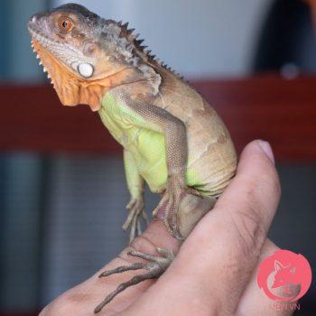 Rồng Nam Mỹ Đỏ - Red Iguana 9