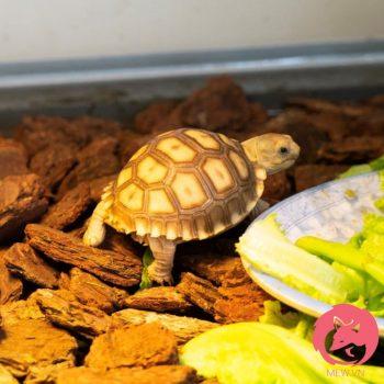 Rùa Sulcata - Rùa Châu Phi 1