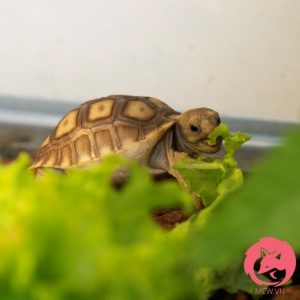 Rùa Sulcata - Rùa Châu Phi 2