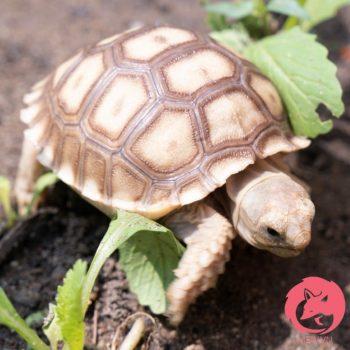 Rùa Sulcata - Rùa Châu Phi 4