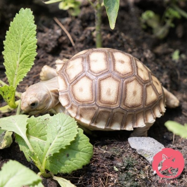 Rùa Sulcata - Rùa Châu Phi 5