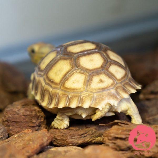Rùa Sulcata mới nở