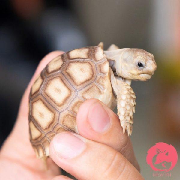 Rùa Sulcata lớn