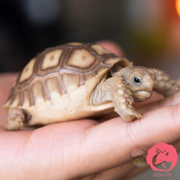 Rùa Sulcata ăn hoa