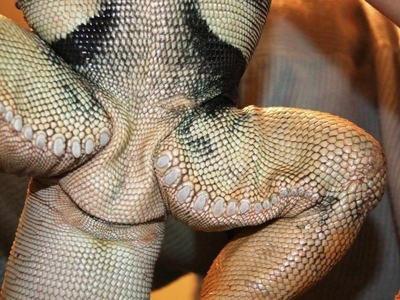 Lỗ chân lông chân sau của Rồng Nam Mỹ đực