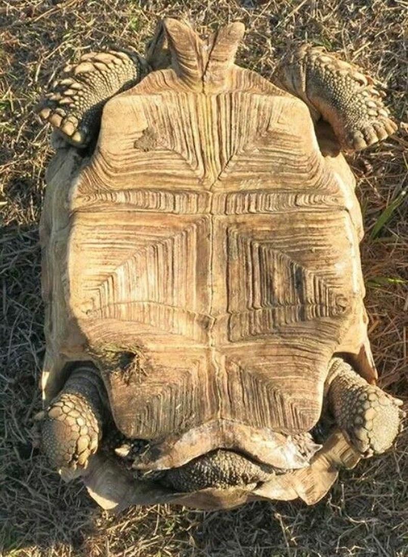Yếm của rùa sulcata