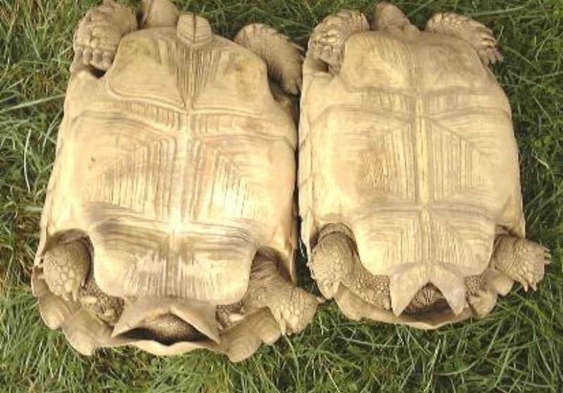 Rãnh hậu môn của rùa Sulcata