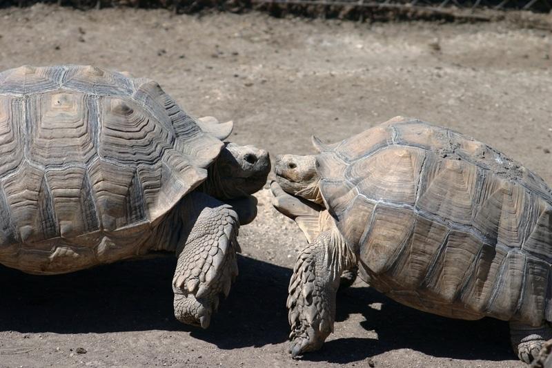 Rùa Sulcata đực chiến đấu.
