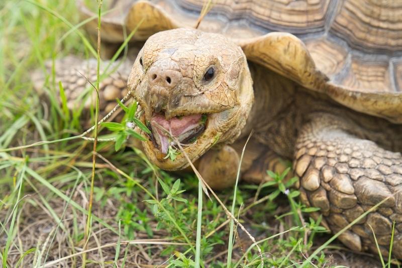Phân biệt giới tính rùa Sulcata