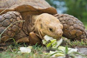 Rùa Sulcata ăn gì?