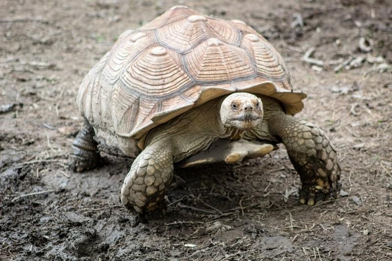 Ngoại hình của rùa Sulcata