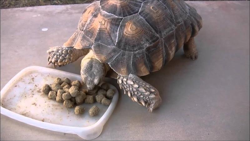 Thức ăn bổ sung cho rùa Sulcata