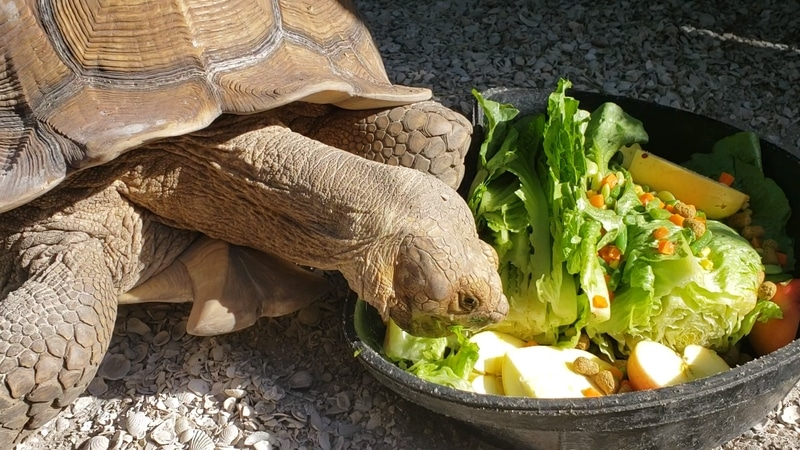 Thực đơn cho rùa Sulcata