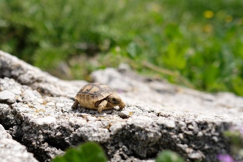 Rùa Sulcata khá khoẻ mạnh