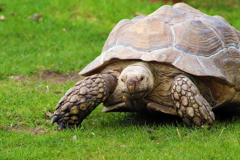 Rùa Sulcata có thể sinh sản ở Việt Nam