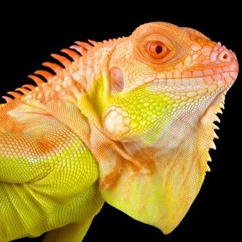 Rồng Nam Mỹ Bạch Tạng Vàng Albino Iguana 1