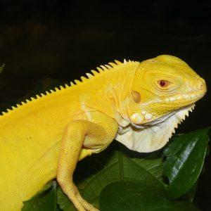 Rồng Nam Mỹ Bạch Tạng Vàng Albino Iguana 10