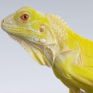 Rồng Nam Mỹ Bạch Tạng Vàng Albino Iguana 2