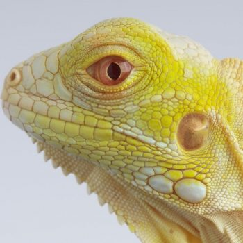 Rồng Nam Mỹ Bạch Tạng Vàng Albino Iguana 3