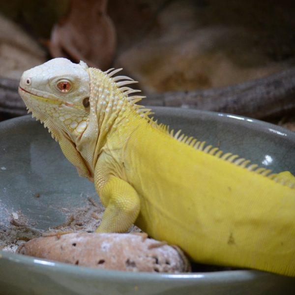 Rồng Nam Mỹ Bạch Tạng Vàng Albino Iguana 4