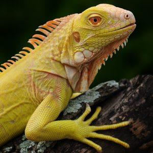 Rồng Nam Mỹ Bạch Tạng Vàng Albino Iguana 5