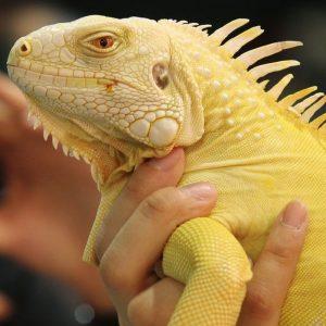 Rồng Nam Mỹ Bạch Tạng Vàng Albino Iguana 6