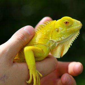Rồng Nam Mỹ Bạch Tạng Vàng Albino Iguana 7