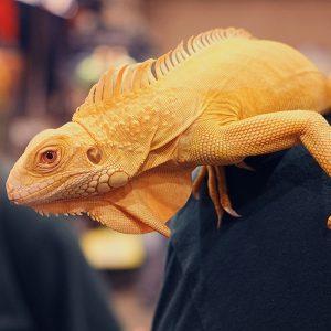 Rồng Nam Mỹ Bạch Tạng Vàng Albino Iguana 8