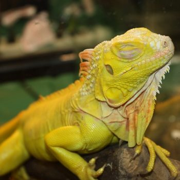 Rồng Nam Mỹ Bạch Tạng Vàng Albino Iguana 9