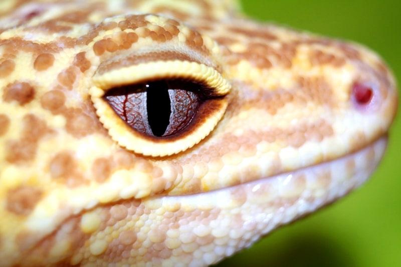 Mí mắt của thằn lằn da báo