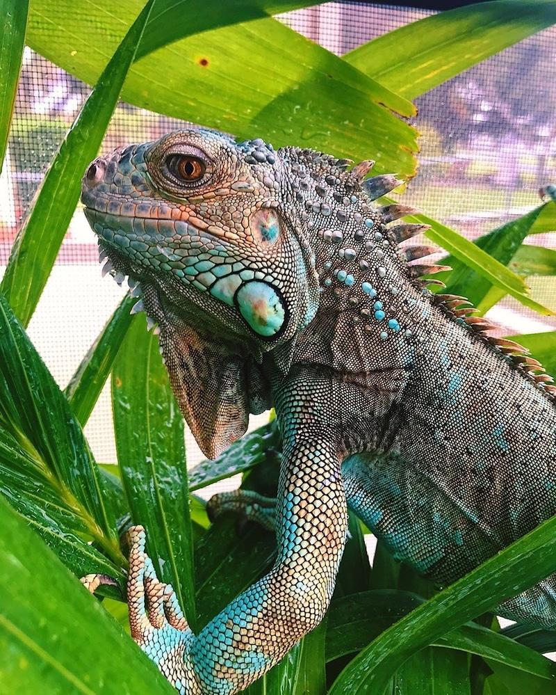Blue Iguana 2