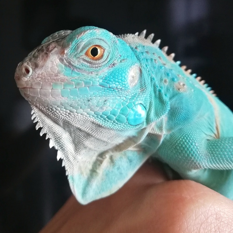 Blue Iguana rất đẹp