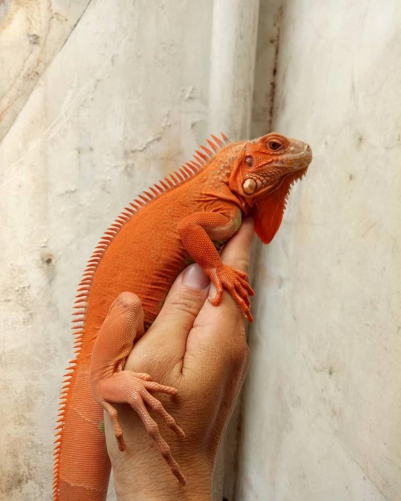 Red Hypo Iguana