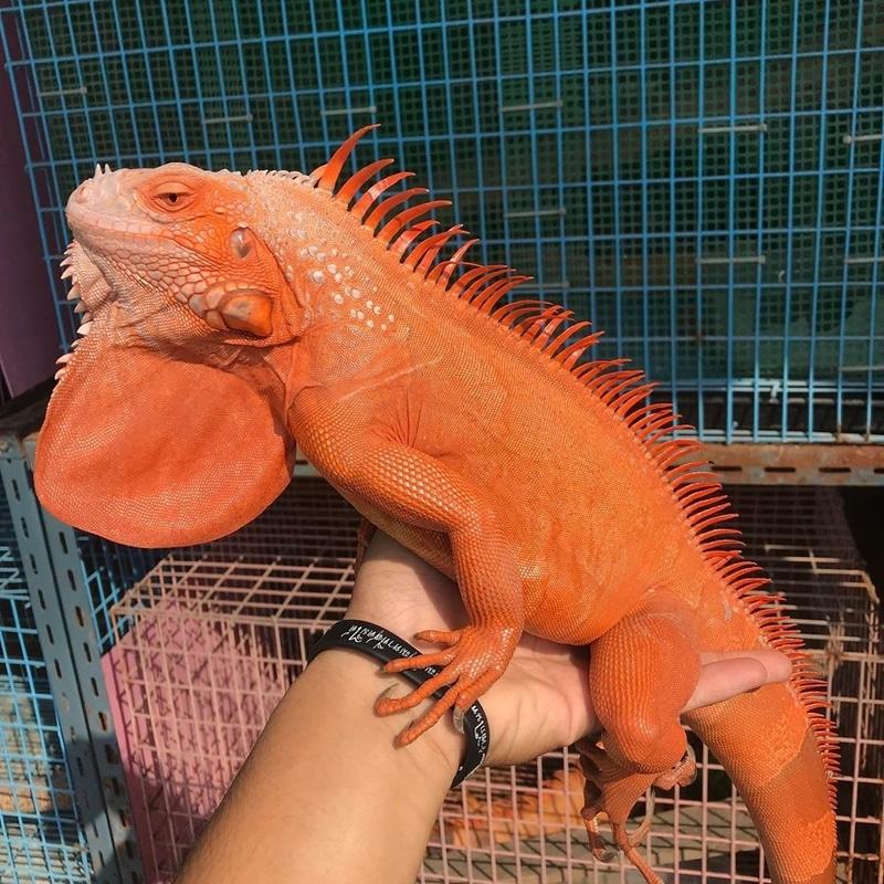 Red Hypo Iguana trưởng thành