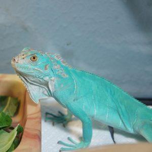 Rồng Nam Mỹ Xanh Dương - Blue Axanthic Iguana 1