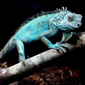 Rồng Nam Mỹ Xanh Dương - Blue Axanthic Iguana 2
