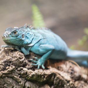 Rồng Nam Mỹ Xanh Dương - Blue Axanthic Iguana 3