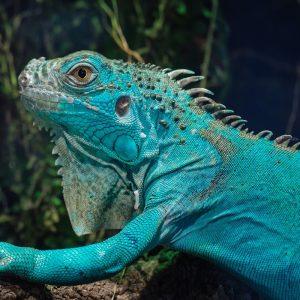 Rồng Nam Mỹ Xanh Dương - Blue Axanthic Iguana 4